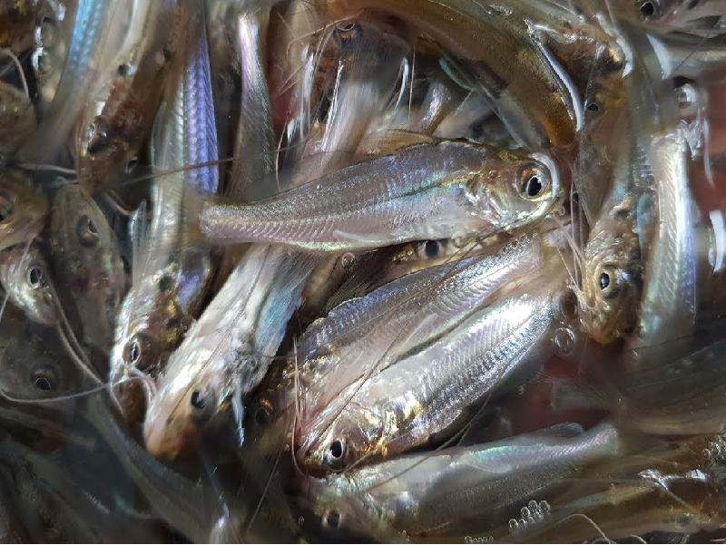 অত্যন্ত সহজে গুলসা টেংরা মাছের লাভজনক উৎপাদন (Profitable Gulsa Tengra Fish Farming)
