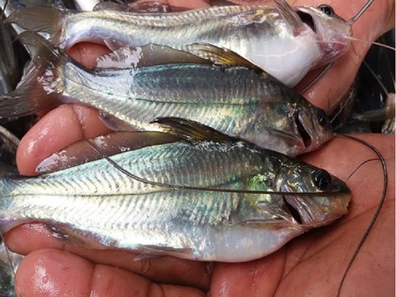 Gulsa Tengra fish (Image Credit - Google)