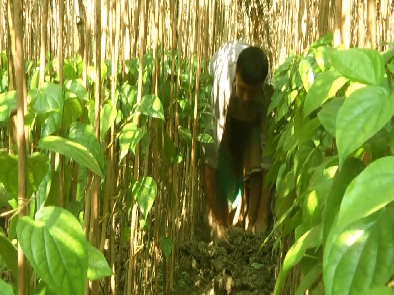 বহুবর্ষজীবী অর্থকরী ফসল পান (Cash Crop Piper Betle Cultivation) চাষে সার প্রয়োগ ও পরিচর্যা পদ্ধতি