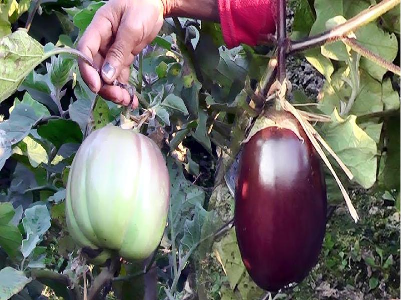 Cultivation Of Eggplant (Image Credit - Google)