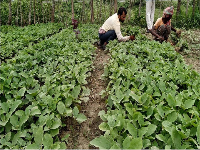 পশ্চিমবঙ্গের এই কৃষক বেগুন চাষ করে প্রতি একরে ১.৬ থেকে ১.৮ লক্ষ টাকা (Profitable Cultivation Of Eggplant)