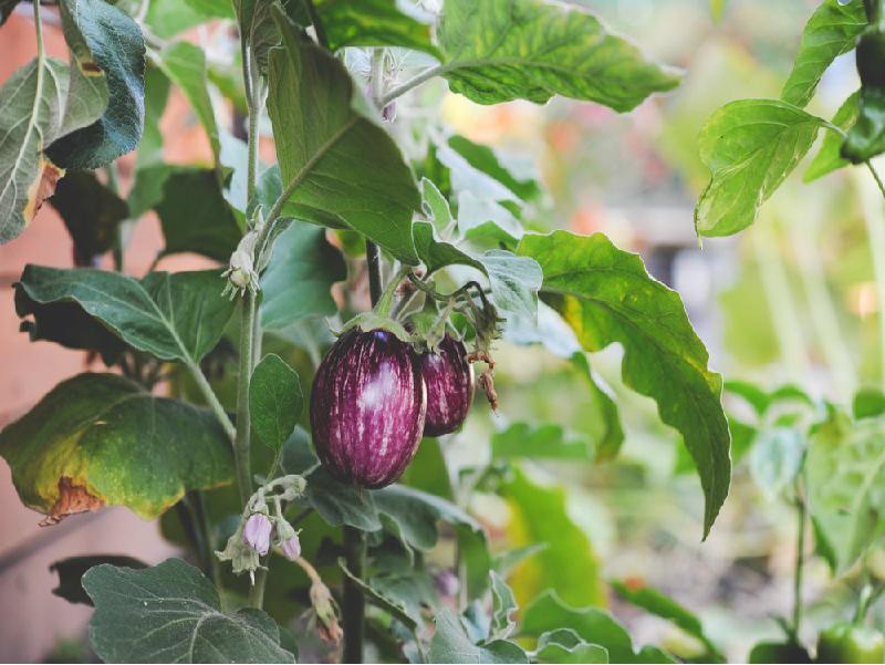 Eggplant (Image Credit - Google)