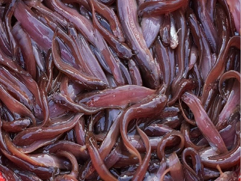 জেনে নিন পুকুরের সঠিক পরিচর্যার মাধ্যমে সিঙ্গি মাছ চাষের আধুনিক পদ্ধতি (Singi Fish Cultivation)