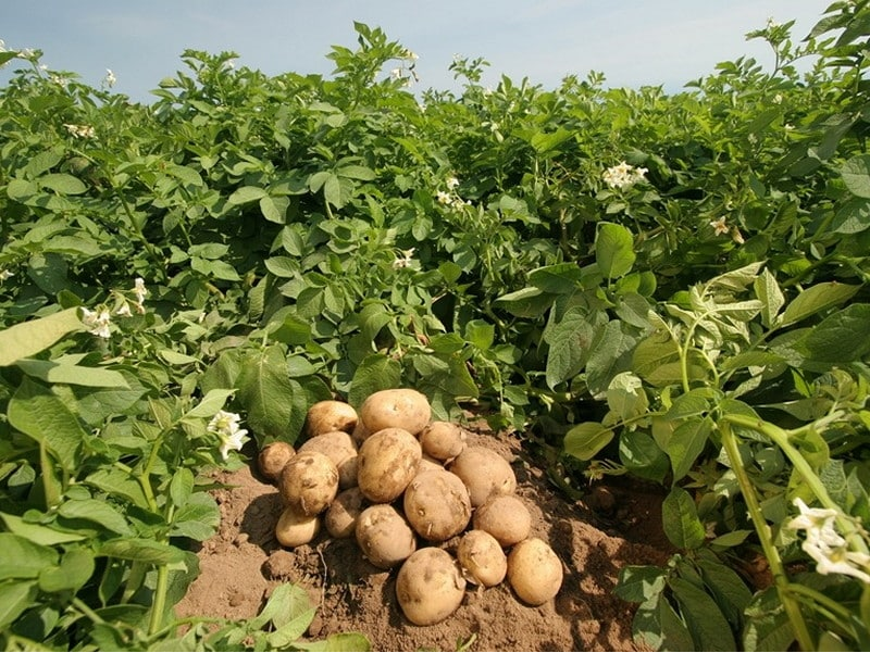 সঠিক নিয়মে 'গাছ আলু' চাষ পদ্ধতি (Method Of Potato Cultivation)