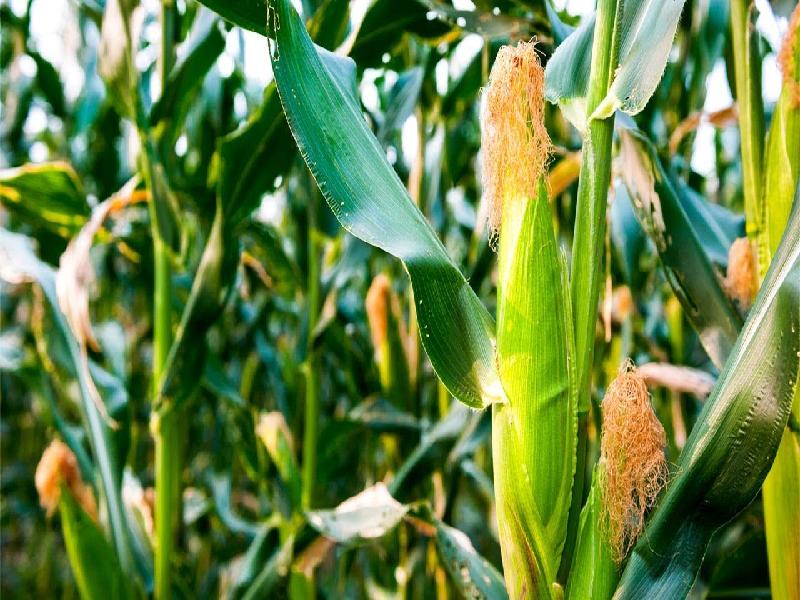 সুইট কর্ন চাষে এবং ফসল বিপণনে কৃষকদের এখন সহায়তা করবে সরকার (Sweet Corn Cultivation)