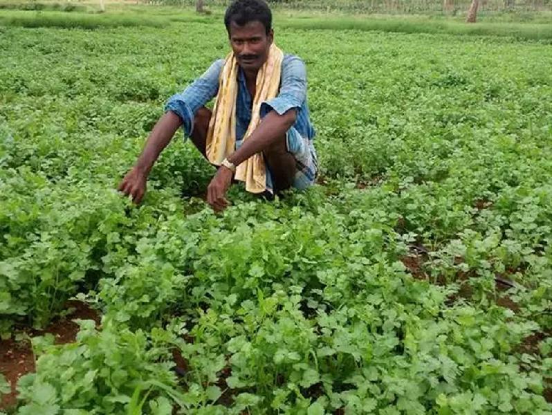 সঠিক পরিচর্যার মাধ্যমে ধনে পাতা 'চাষের পদ্ধতি (Coriander Cultivation)
