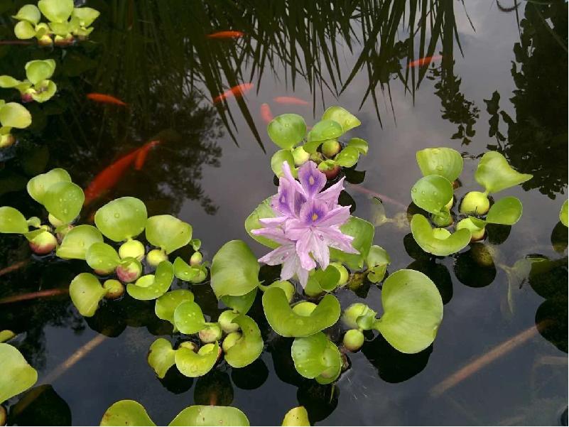 Weed Hyacinth (Image Credit - Google)