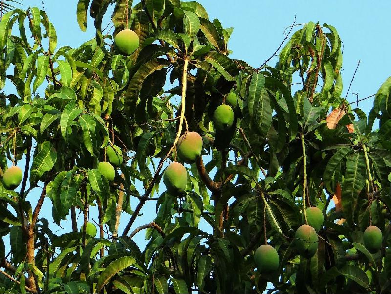 Mango Tree (Image Source - Google)
