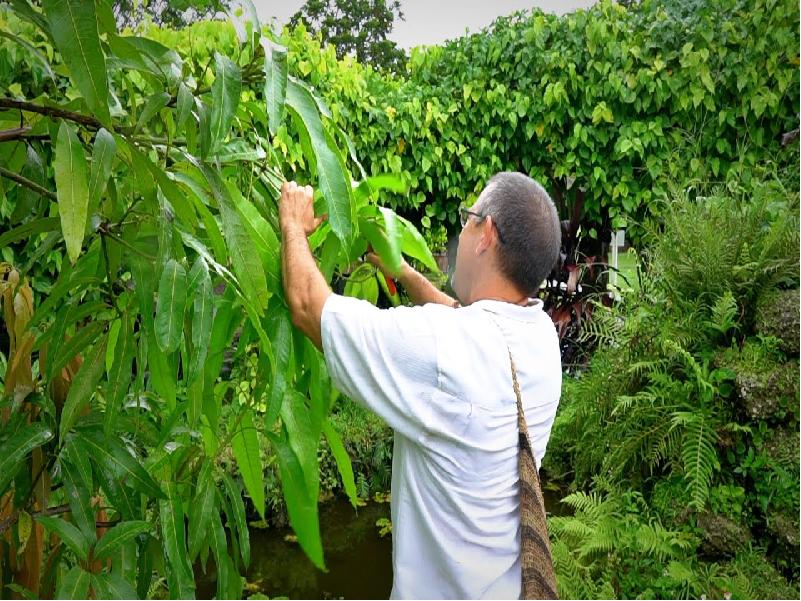 আমের ফলন কমে যাচ্ছে? ফলন বাড়াতে এই সময়ে বাগানের যত্ন ও পরিচর্যা করুন এই পদ্ধতিতে (Process To Increasing Mango Yield)