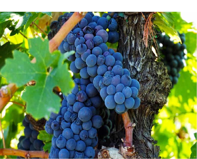 Grapes (Image Credit - Google)