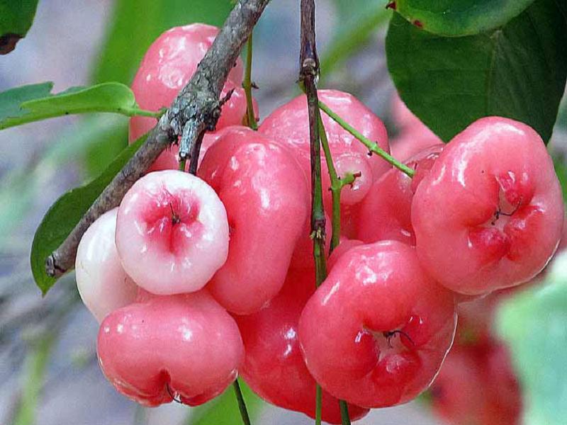 জানুন জামরুলের পুষ্টিগুণ ও এই ফল খাওয়ার বিশেষ কিছু উপকারিতা (Nutritional Value Of Java Apple)