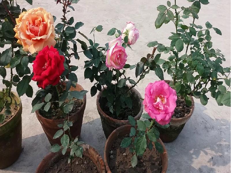 Rose Farming (Image Source - Google)