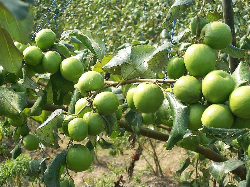 অনুর্বর জমিতে কাশ্মীরি আপেল কুল চাষ করে আয় করুন অতিরিক্ত অর্থ (Kashmiri Apple Ber)