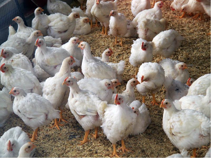 গ্রামের বেকার যুবকরা মুরগী পালন করে আয় করুন অতিরিক্ত (Poultry Farming)