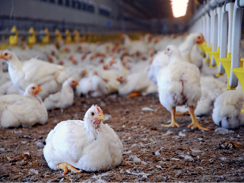 Poultry rearing (Image Credit - Google)