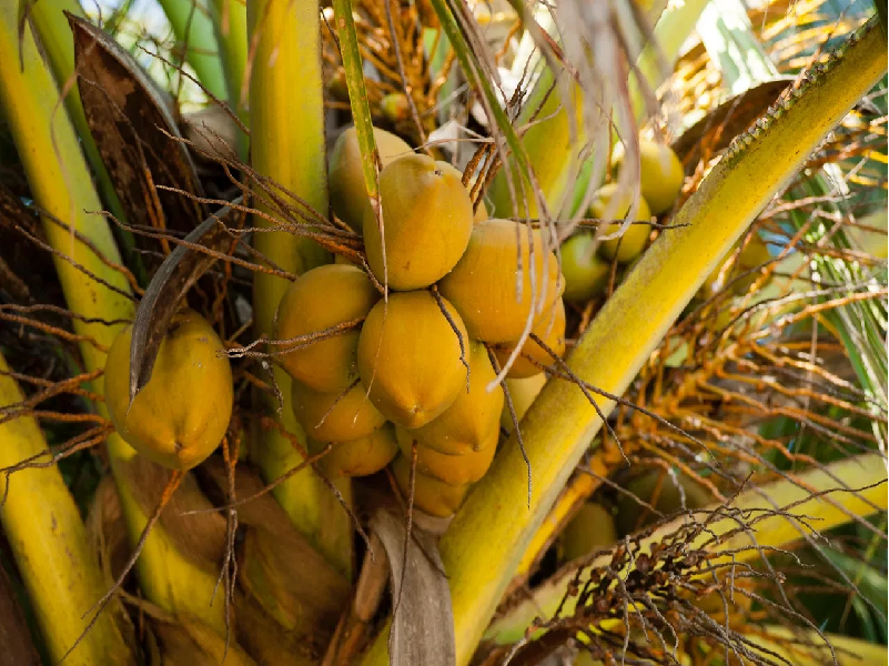 Coconut Tree (Image Credit - Google )