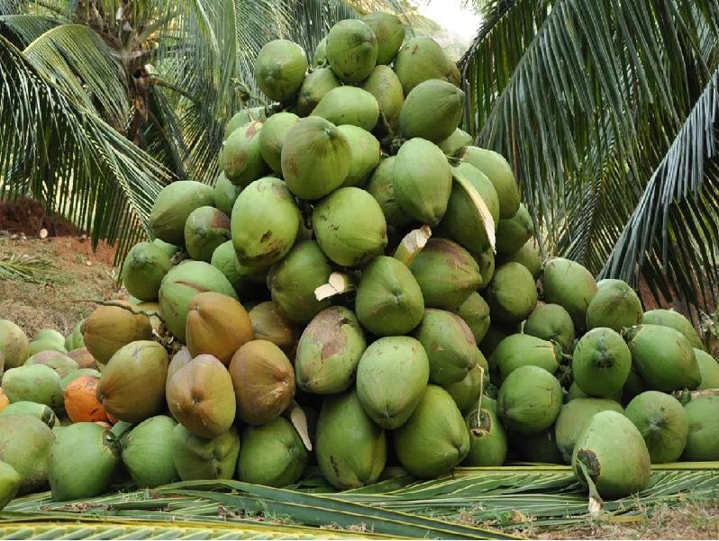 নারকেল গাছে ফলন বৃদ্ধিতে সার প্রয়োগের পরিমাণ ও কীট পরিচালনা (Management Of Coconut Tree)
