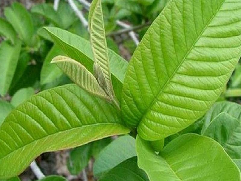 Guava leaves (Image Credit - Google)