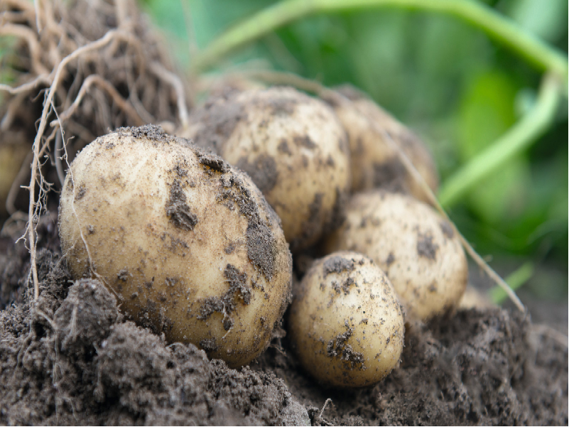 Potato Cultivation (Image Credit - Google)