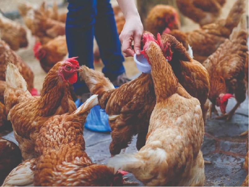 Poultry Farm (Image Credit - Google)