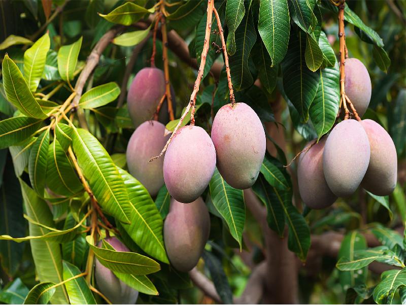 Varieties Of Mango (Image Credit - Google)