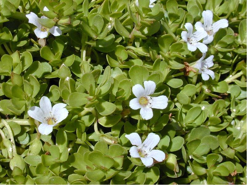 Brahmi Plant (Image Source - Google)