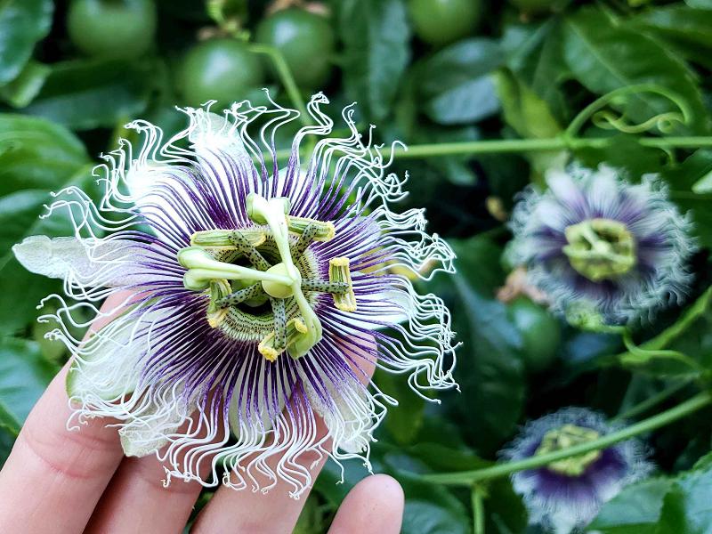 Passion Fruit (Image Source - Google)