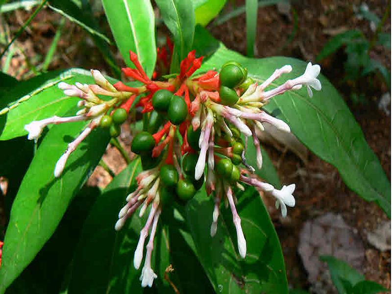 Serpentina Plant (Image Credit - Google)