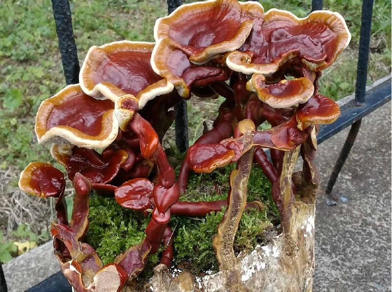 (Ganoderma Mushroom (Image Credit - Google))