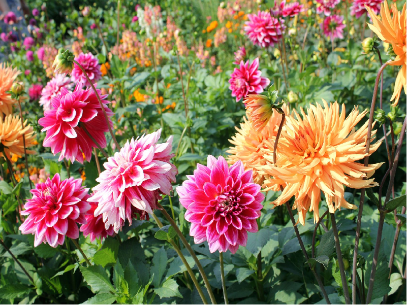 Dahlia Flower (Image Credit - Google)