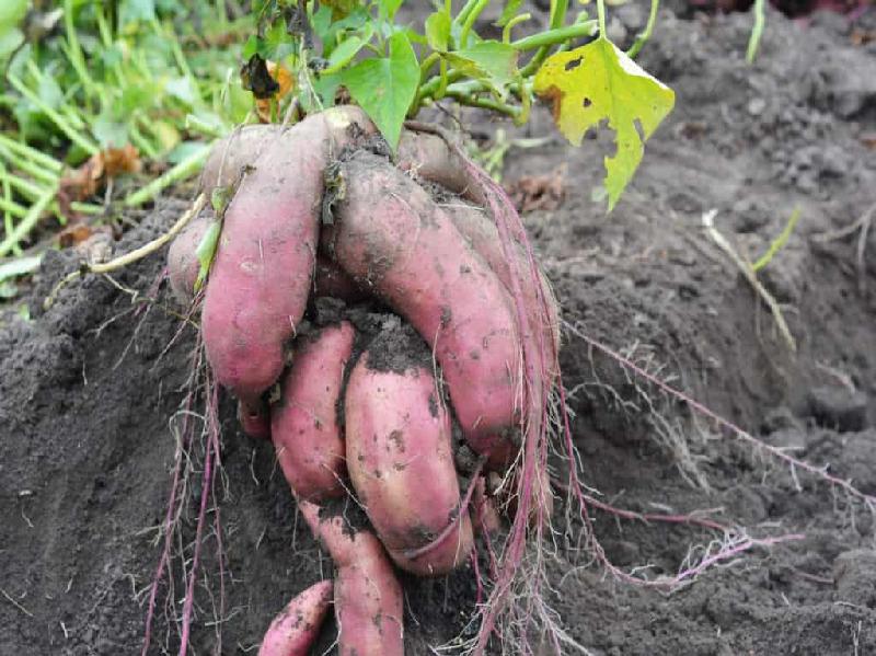 Sweet Potato (Image Source - Google)
