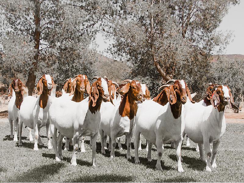 Goat Farm (Image Source -Google)