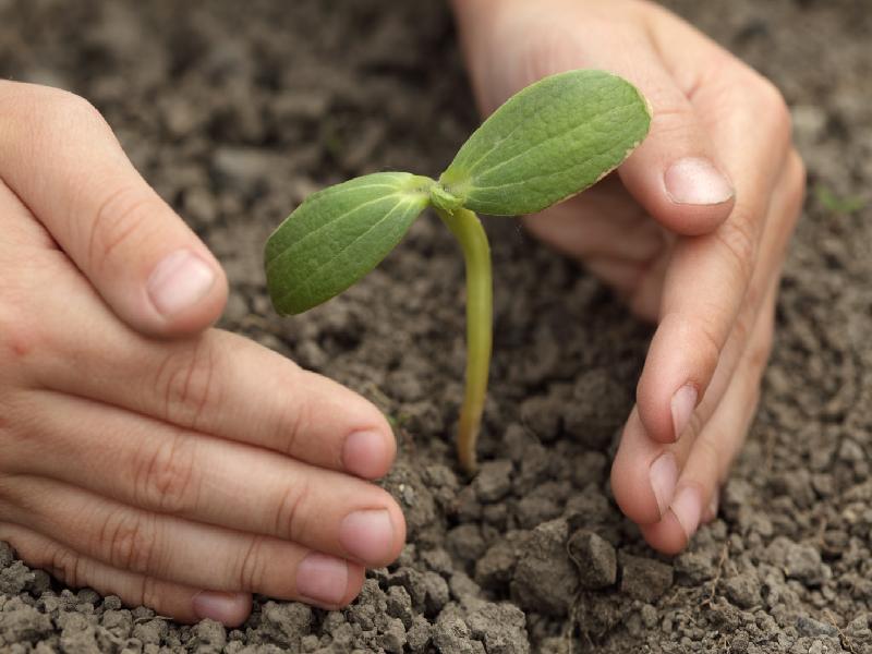 Money Plant Cultivation (Image Credit - Google)