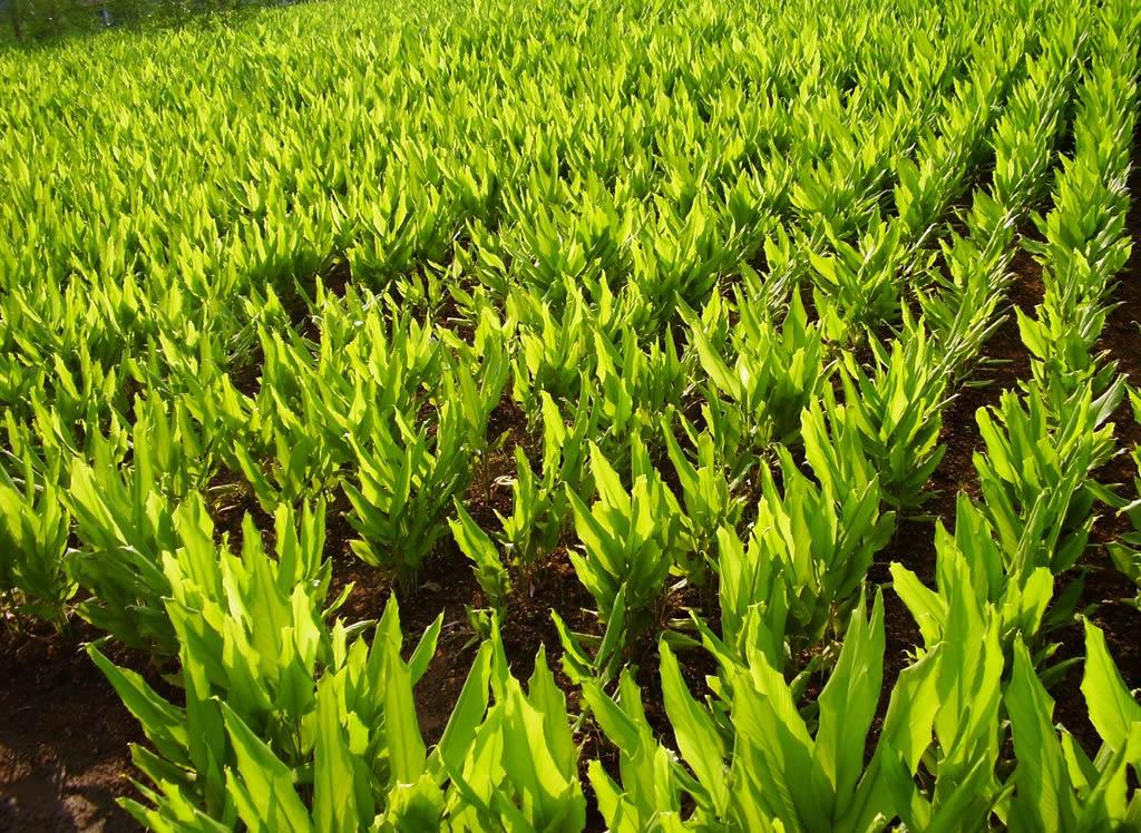 হলুদ চাষে উন্নত ফলনের জন্য রোগ পোকার প্রতিকার (Turmeric Cultivation)