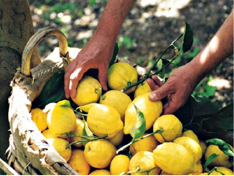 Lemon Variety (Image Credit - Google)