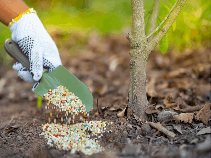 লেবু গাছে ফলন বৃদ্ধির উদ্দেশ্যে জৈব এবং রাসায়নিক সারের ব্যবহার (Fertilizer Application On Lemon Tree)