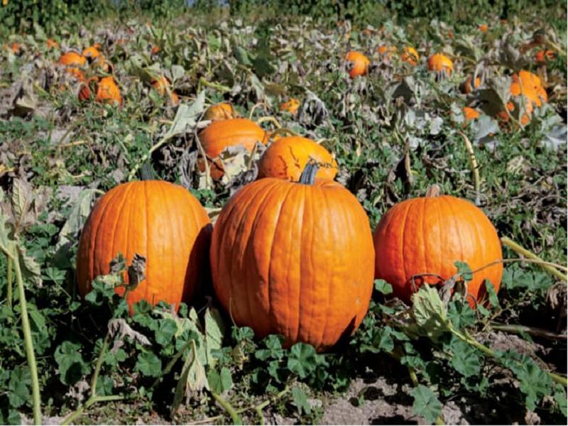 শীতকালীন সময়ে কুমড়ো ফসলের পলিটানেলে চাষ ও তার পরিচর্যা (Cultivation Method Of Pumpkin Crop)