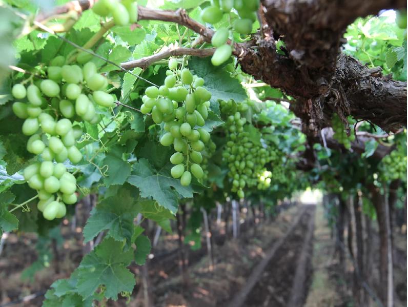 Grape Cultivation (Image Credit - Google)