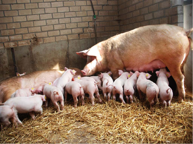 কেন করবেন শূকর পালন অথবা কোন প্রজাতির শূকর পালনে হবে দ্বিগুণ লাভ? জেনে নিন শূকরের প্রজাতি সম্পর্কে (Profitable Pig Farming Breed)