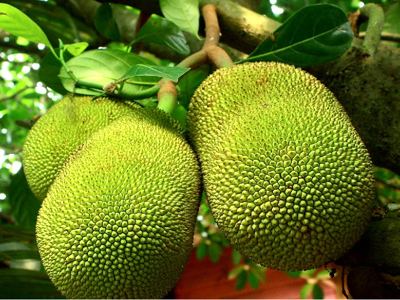 উপযুক্ত পরিচর্যার মাধ্যমে কাঁঠালের চাষ (Jackfruit Cultivation)