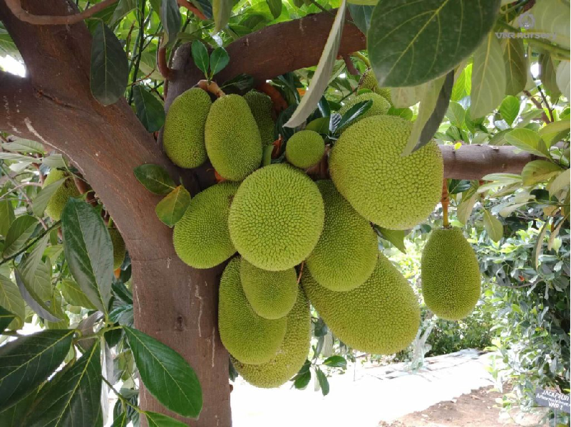Jackfruit (Image Credit - Google)