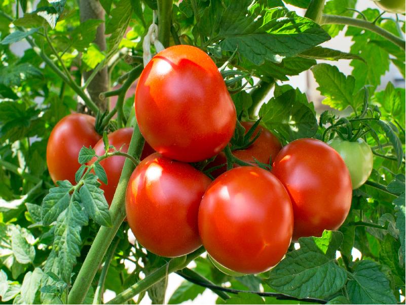 Tomato (Image Credit - Google)