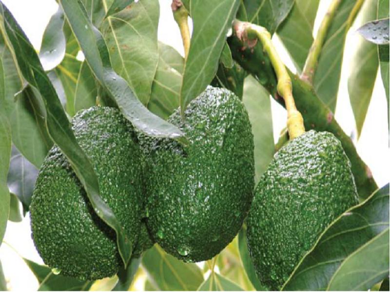 Avocado (Image Source - Google)