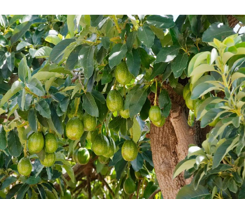 পুষ্টি সমৃদ্ধ ফল অ্যাভোকাডো চাষ করুন নিজের ছাদবাগানে (Avocado Farming In Rooftop)