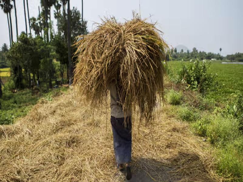 এমএসপিতে ১.২৩ লক্ষ কোটি টাকার ধান ক্রয় করল কেন্দ্র (Center Procured Paddy At MSP)