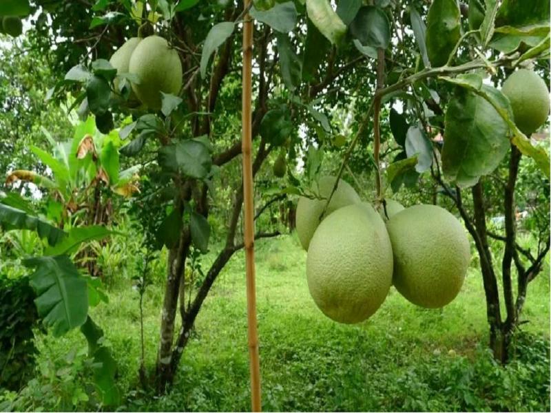 রোগ বালাইয়ের উপযুক্ত ব্যবস্থাপনার মাধ্যমে উচ্চ ফলনশীল বাতাবি লেবুর চাষ পদ্ধতি (Batabi Lemon Cultivation)