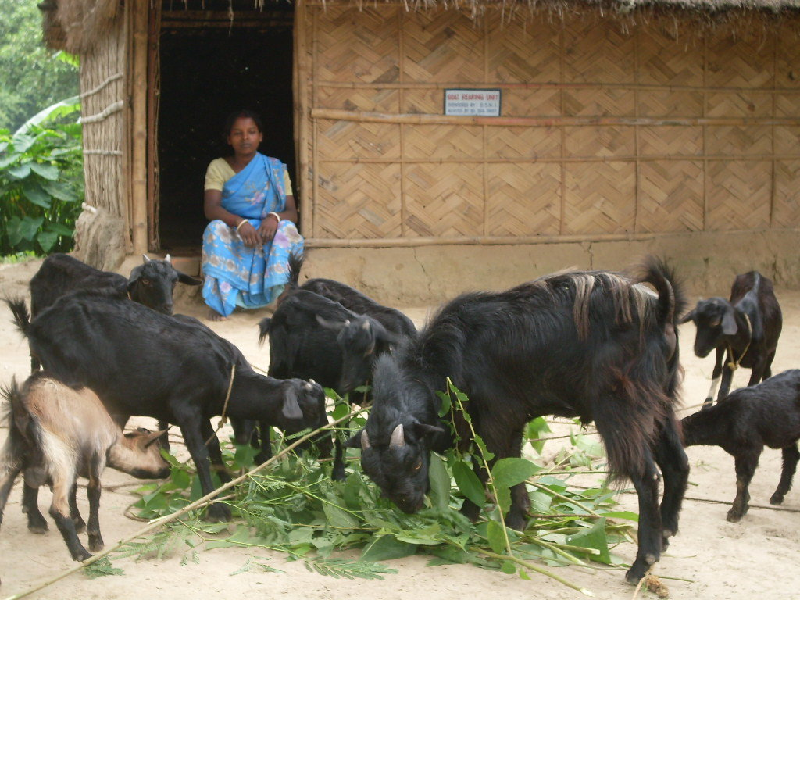 উন্নত জাতের ছাগল পালন করে এই মহিলা উপার্জন করছেন লক্ষাধিক (Woman Farmer Success Story)
