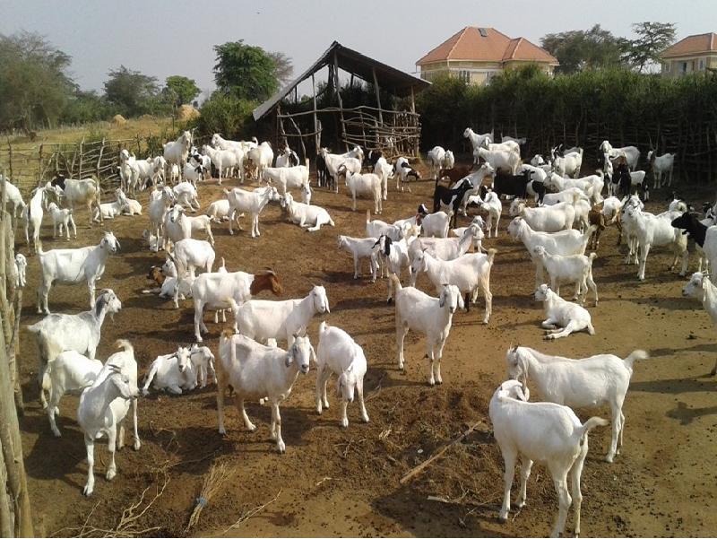 Goat Farm (Image Credit - Google)