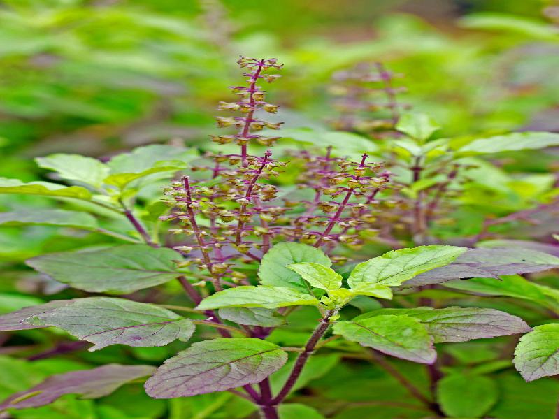 তুলসী চাষে আগাছা নিয়ন্ত্রণ এবং রোগ-পোকা ব্যবস্থাপনা (Pest Management In Tulsi Farming)