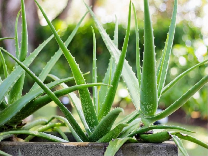 সঠিক পরিচর্যার মাধ্যমে বিভিন্ন পদ্ধতিতে ঘৃতকুমারী চাষের কৌশল (Aloevera Cultivation)